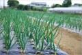 玉ねぎの連作について!栽培で注意することは?