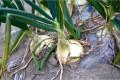 玉ねぎ栽培の収穫時期はいつごろ?保存方法は?